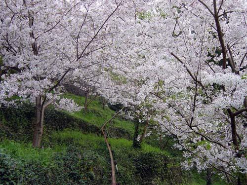 清見と桜(1)