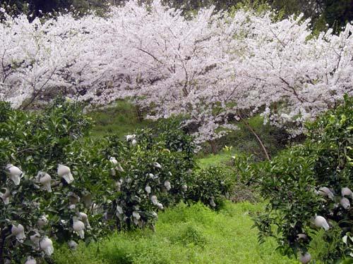 清見と桜(2)