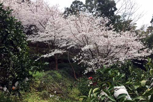 あらし山の桜