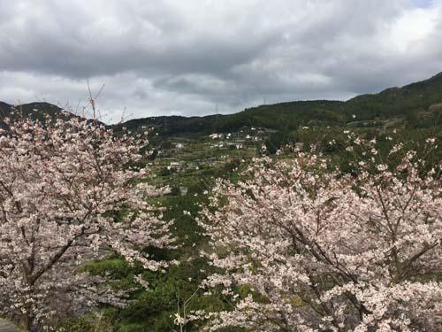 160402桜開花