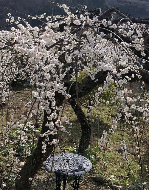 180303枝垂れ梅満開