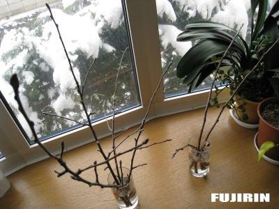 リンゴ花芽1