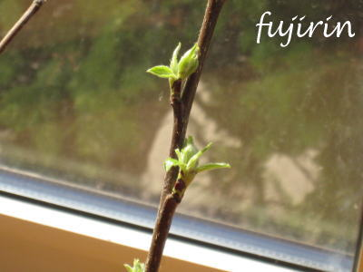 新鞘部の葉芽