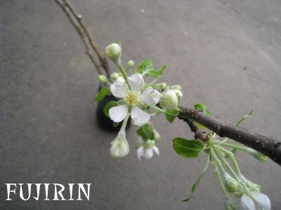 ジョナ咲き2