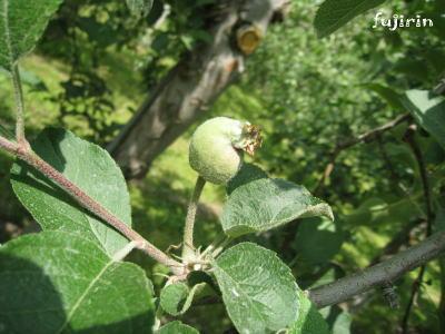 りんご生育6月2