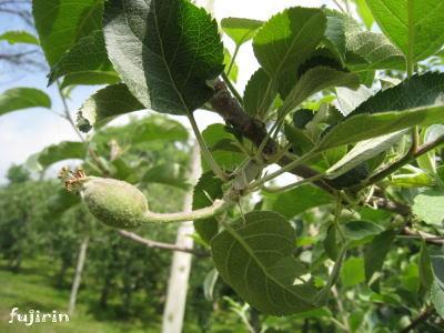 りんご生育6月4
