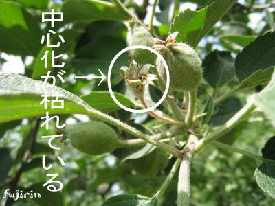 りんご生育6月5