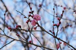 *〜今年の梅〜*