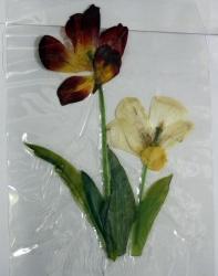 チューリップの押し花