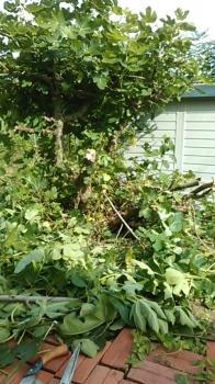 イチジクの木の伐採