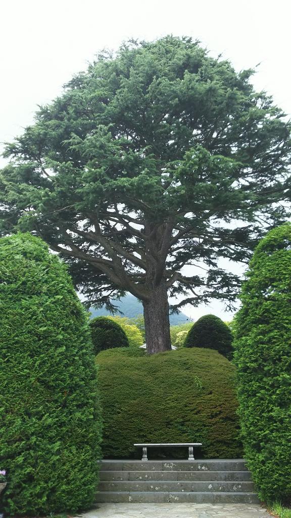箱根強羅公園のヒマラヤ杉