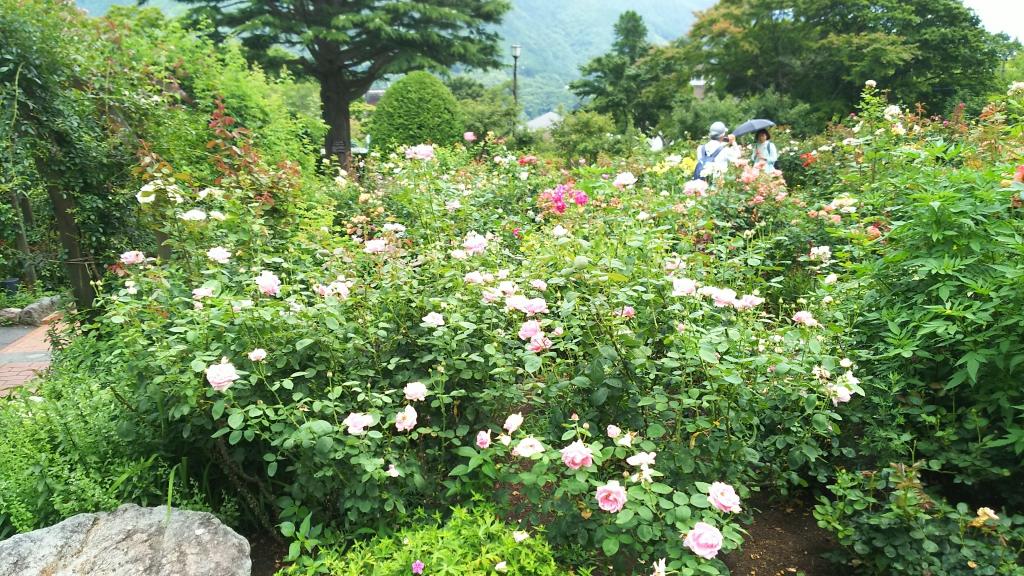 箱根強羅公園のバラ1