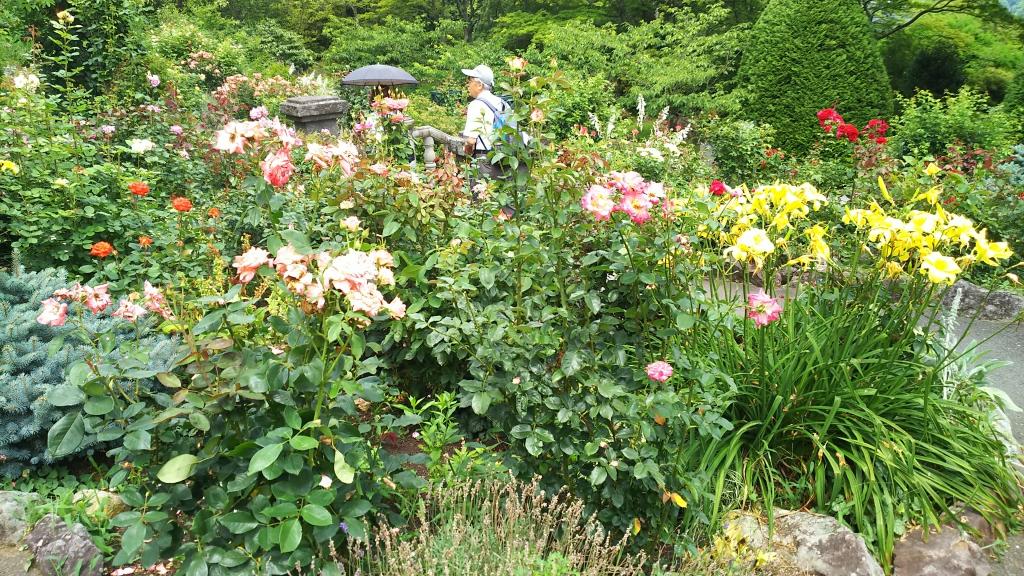箱根強羅公園のバラ3