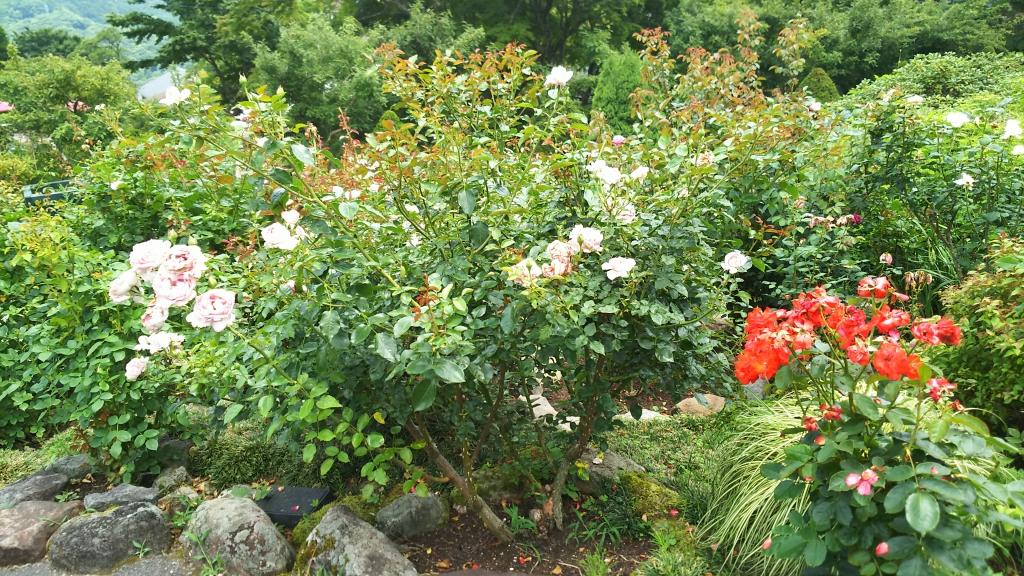 箱根強羅公園のバラ4