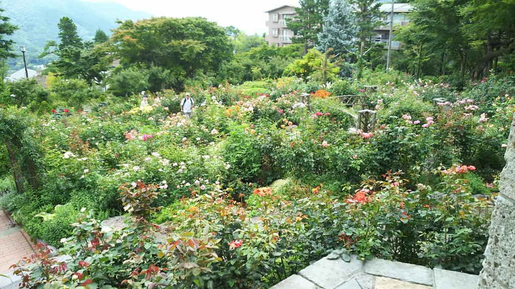 箱根強羅公園のバラ5