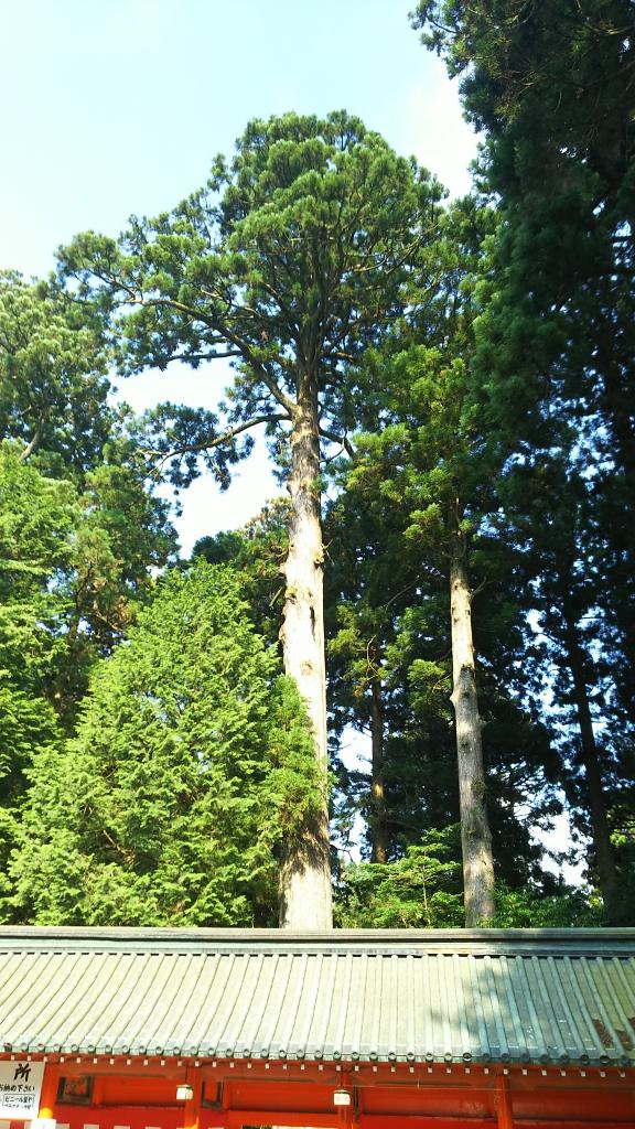 箱根神社の安産杉1