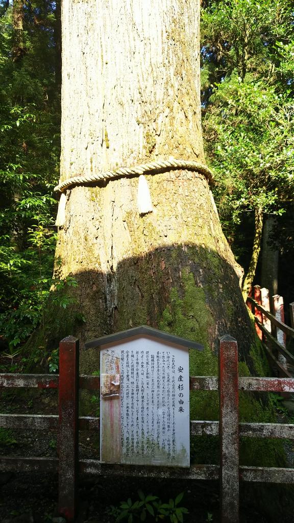 箱根神社の安産杉2