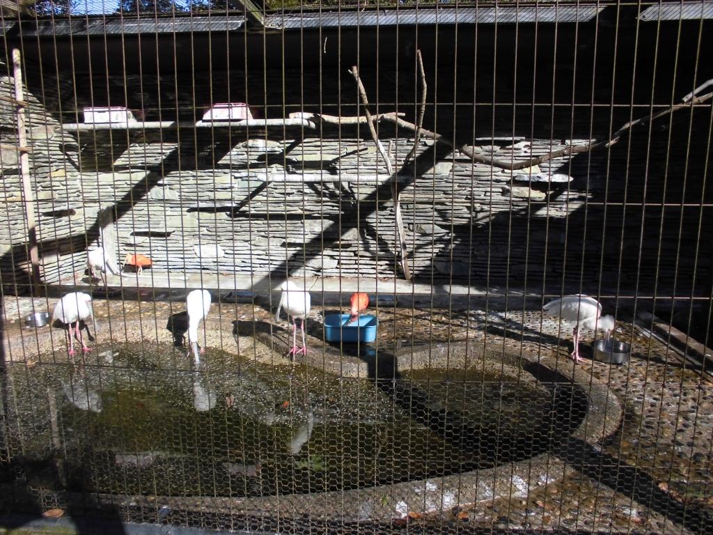 千葉市動物公園のショウジョウトキ2