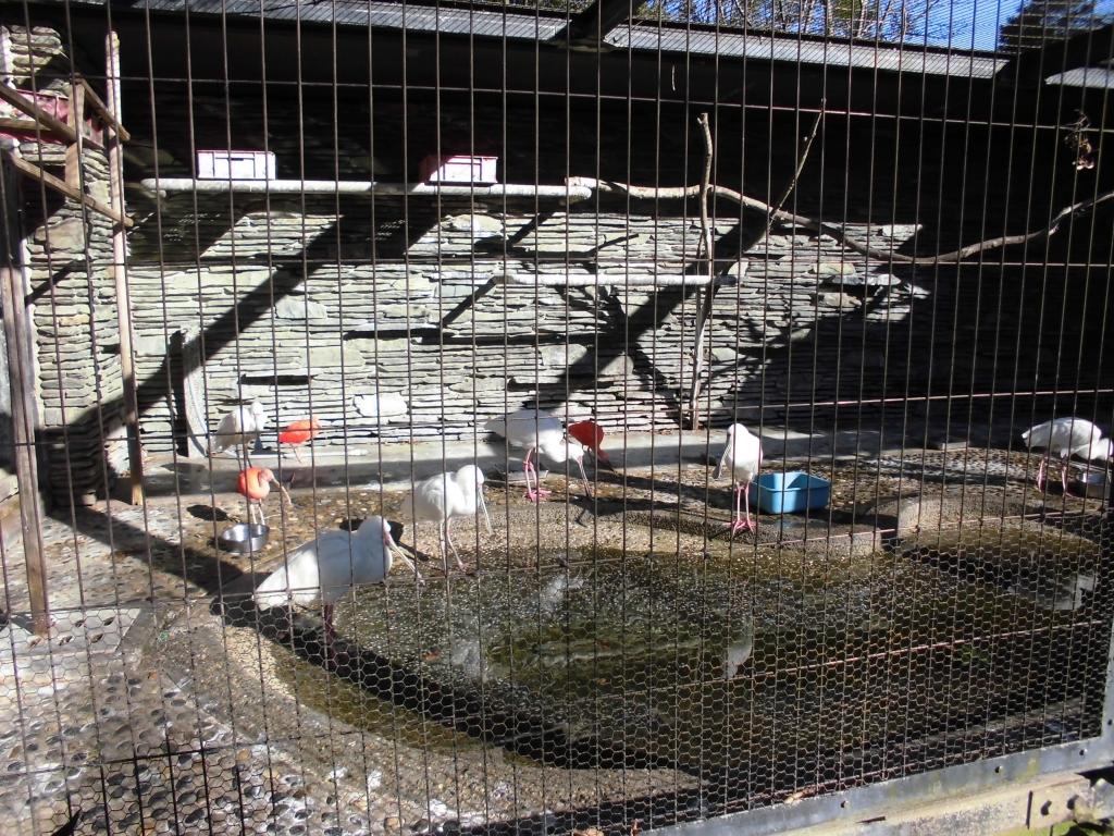 千葉市動物公園のショウジョウトキ3