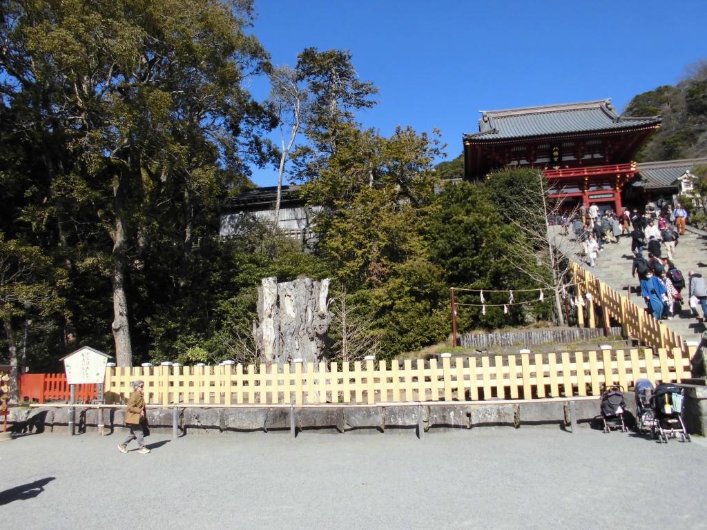鶴岡八幡宮の大イチョウの木2020年その1