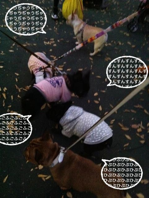 frenchbulldog 2che SDC 12