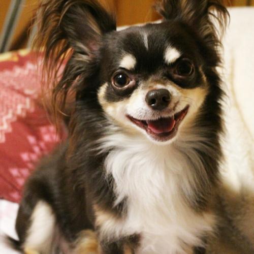 モデル犬 チワワのぬいぐるみ