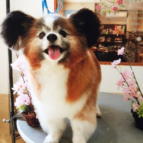 愛犬パピヨンそっくりのぬいぐるみを制作