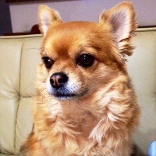 チワワのウェイトドール 愛犬の写真からぬいぐるみ制作