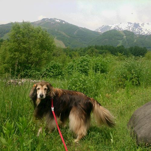 シェルティとダックスのミックス犬 愛犬ウエイトドール