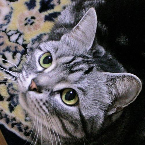 ウエイトキャット モデル猫ちゃん