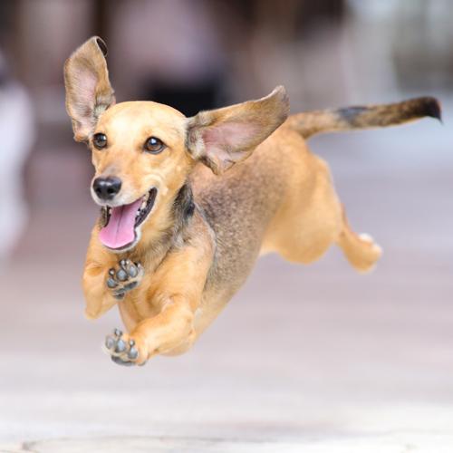 愛犬のぬいぐるみ制作 ダックスフンド