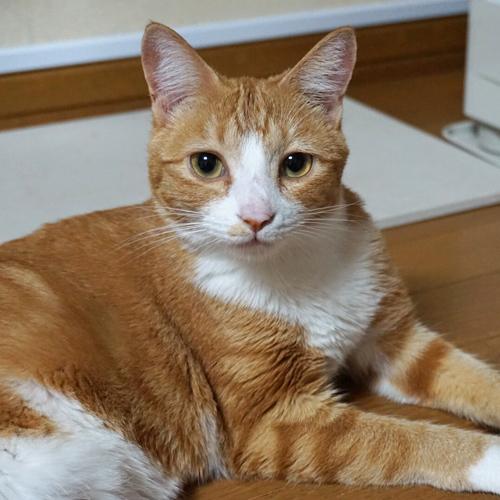 愛猫のぬいぐるみ モデルの白茶猫