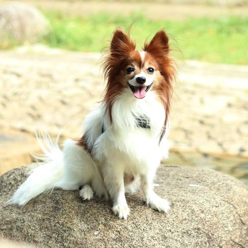 ペットロスに 愛犬の写真からぬいぐるみ パピヨン