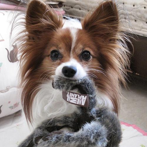 愛犬パピヨン 写真からぬいぐるみ オーダー