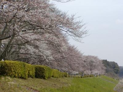 宮リバー桜並木