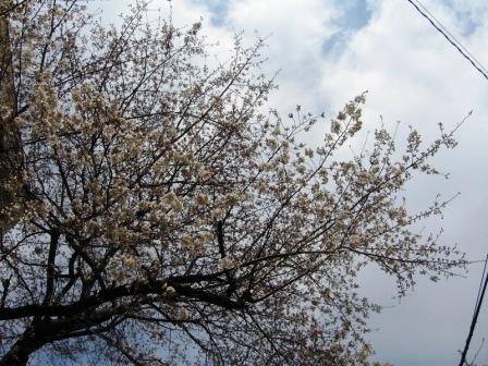撮り始めたら、撮ってしまう桜写真・・・