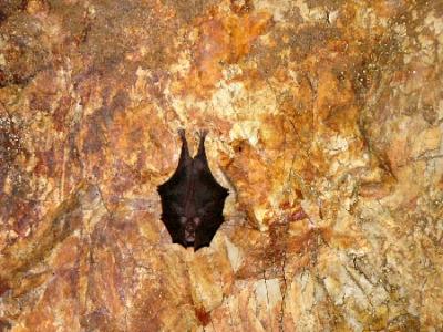 エコツアー 冬眠中のコウモリ