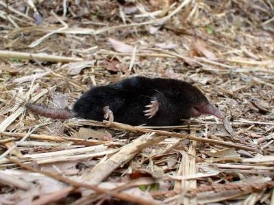 熊野の野生動物 ヒミズ