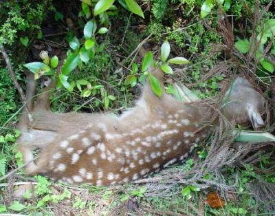 熊野の野生動物 子鹿(バンビ)の遺体