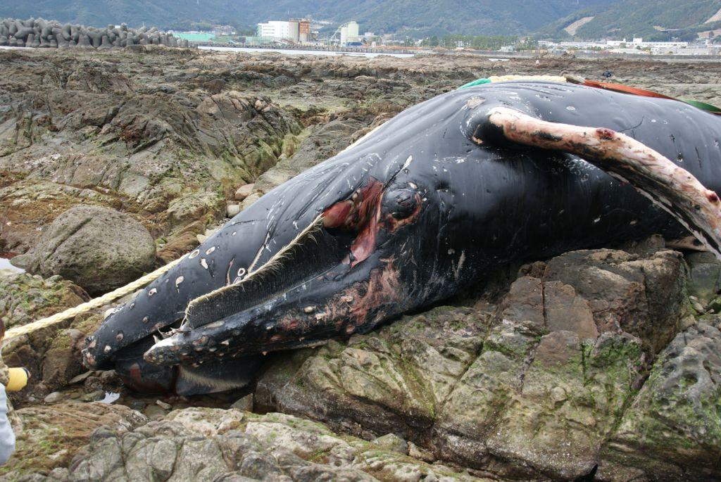 ザトウクジラの画像 p1_23