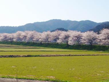 佐分利街道沿いの桜並木