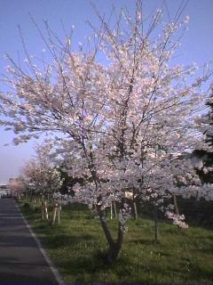 2005の桜