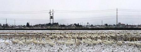 白鳥1.jpg