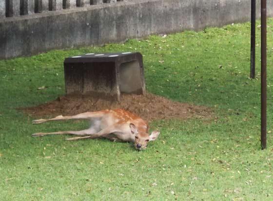 会場奥で横倒し牝鹿