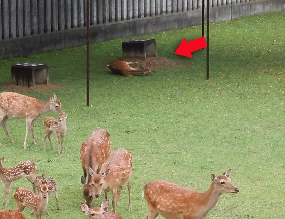 ひさしの下で産気づいている牝鹿