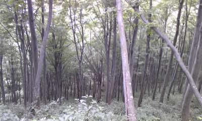 白いブナ林