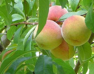 うちの桃です。ちゃんと桃でしょ?
