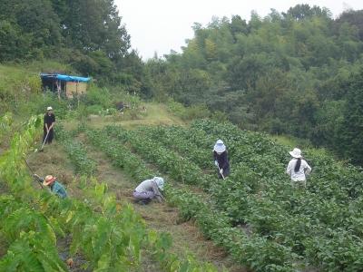 黒枝豆の草取