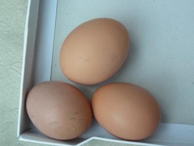 10月11日順調に3個産卵