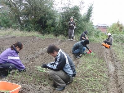 玉葱の定植作業